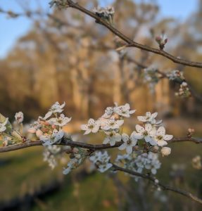 Beautiful white snow pear blossoms